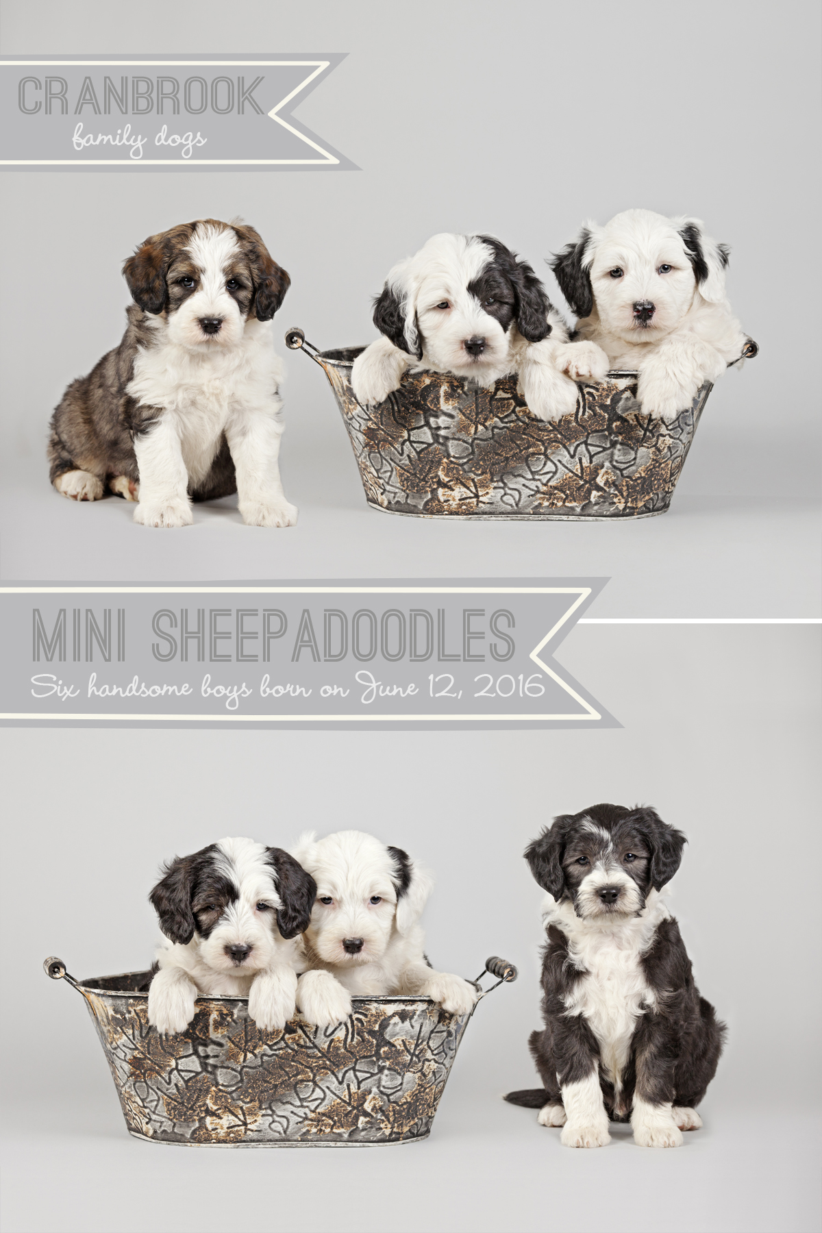 alt=mini sheepadoodles for sale