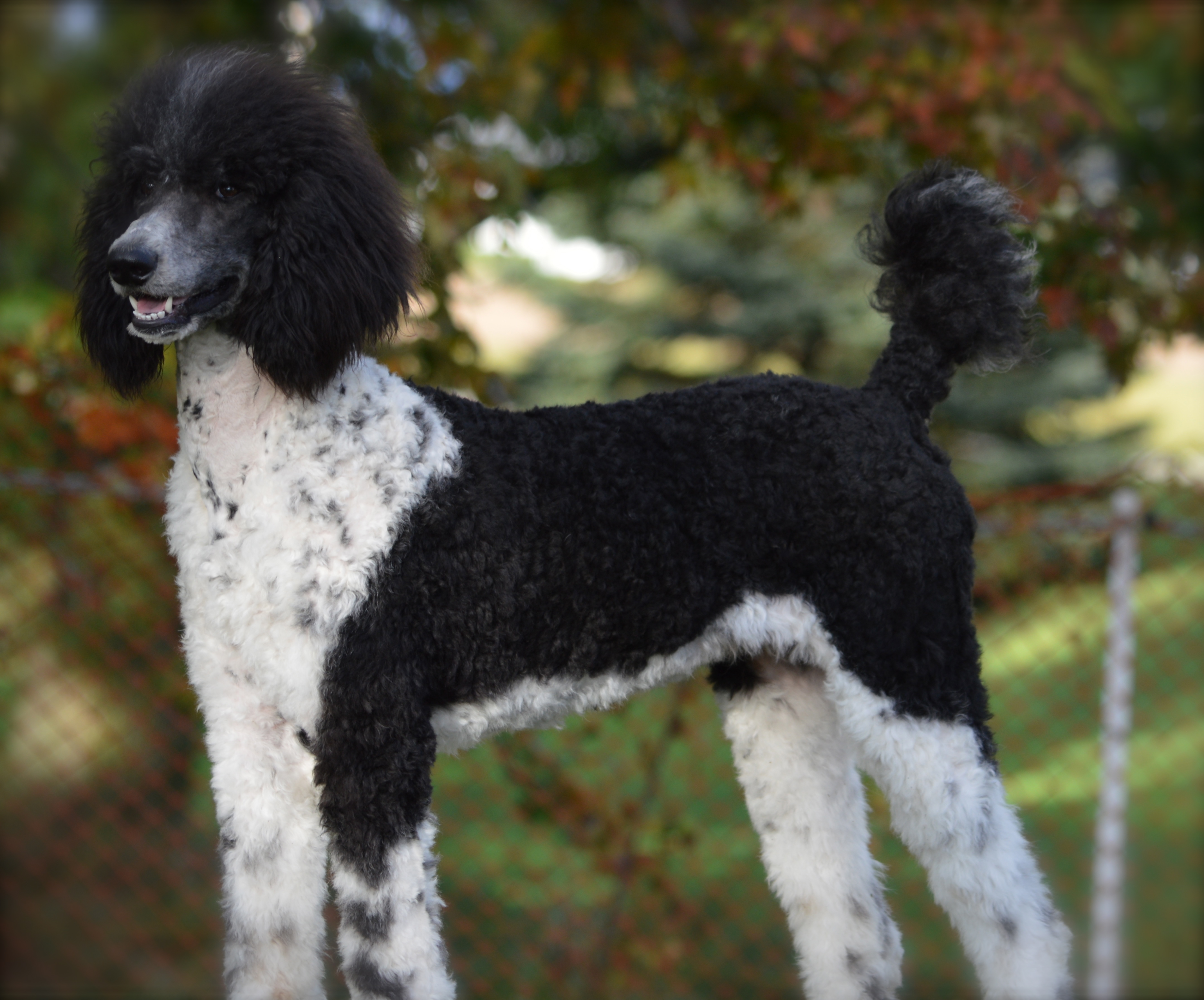 Our Dogs – I Love My Sheepadoodle