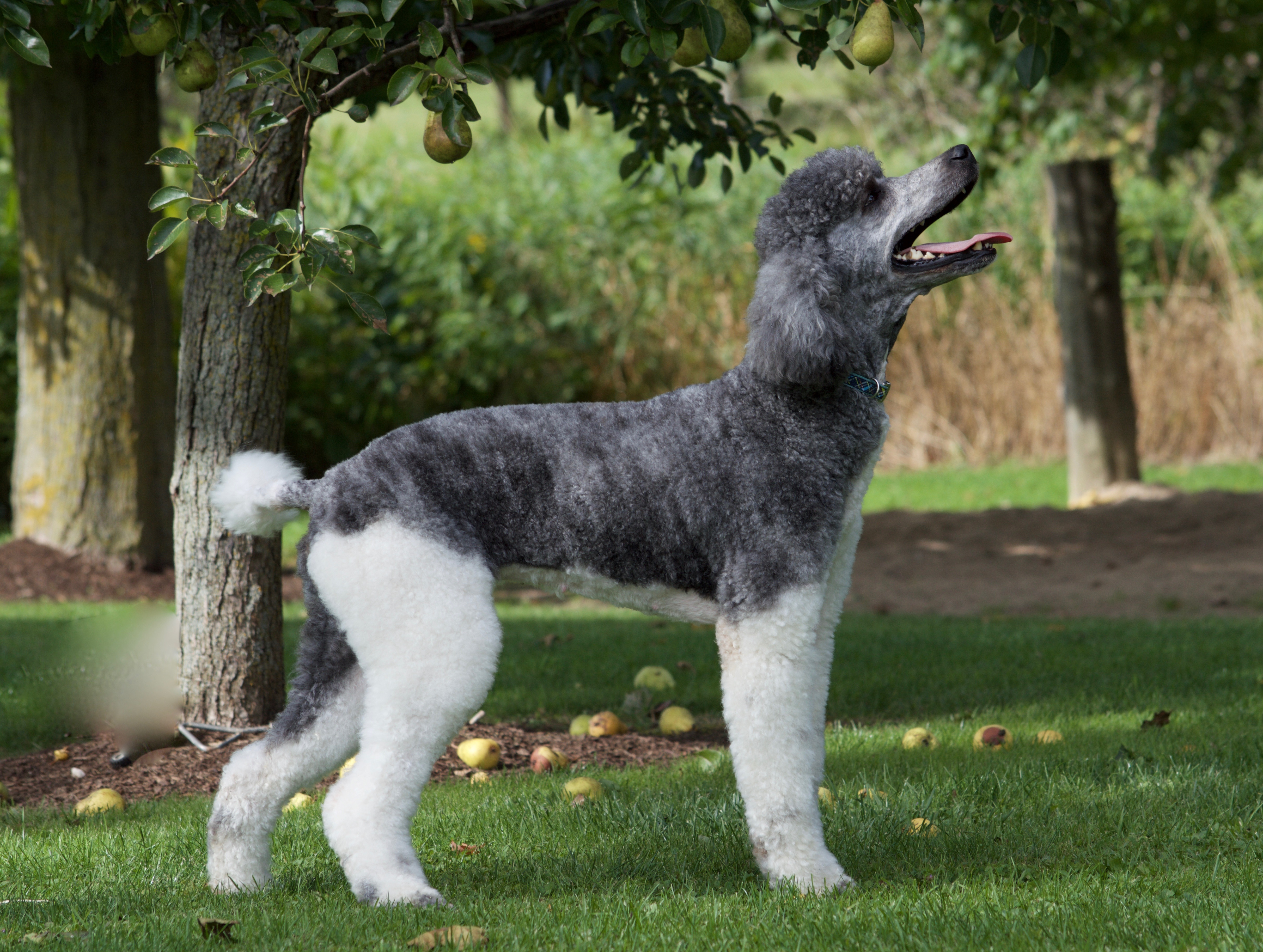 Our Dogs I Love My Sheepadoodle
