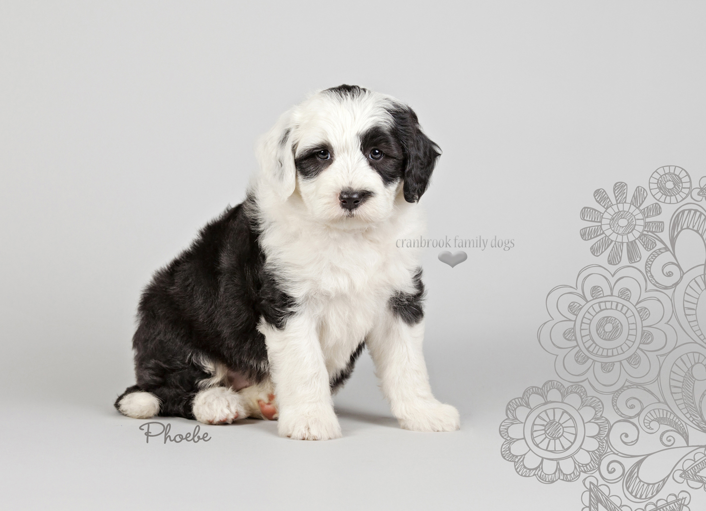 alt=female mini sheepadoodle puppies for sale in ontario