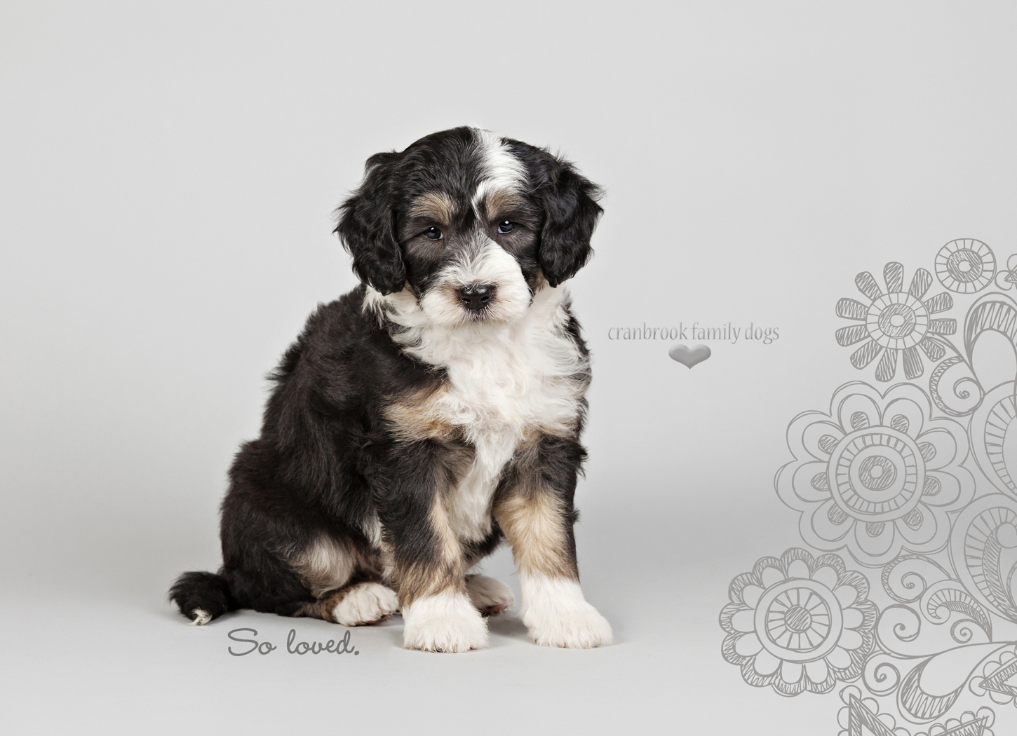 alt=female sheepadoodle puppy for sale in ontario