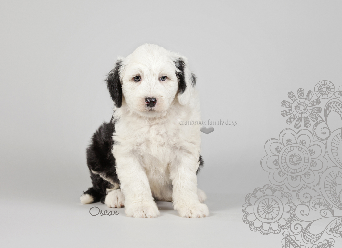 alt=male sheepadoodle puppy for sale in ontario