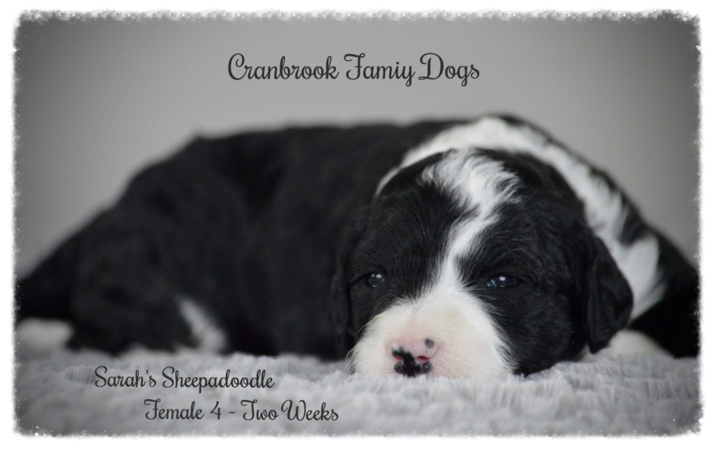 Standard Sheepadoodles – I Love My Sheepadoodle