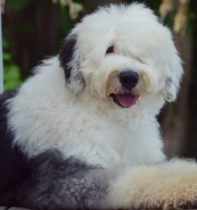 About Us I Love My Sheepadoodle